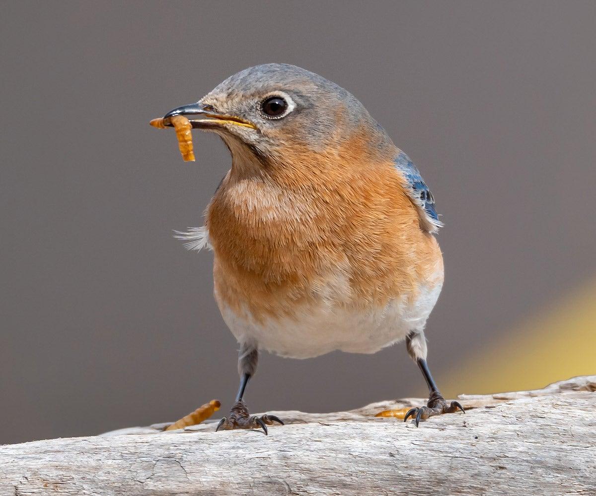 bluebird eating a worm
