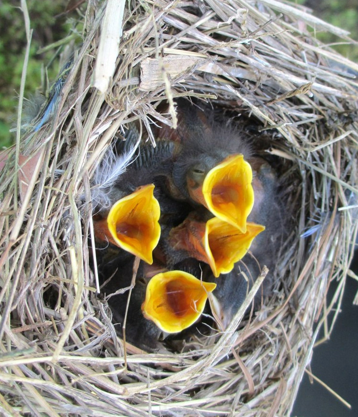 baby bluebirds with mouths open