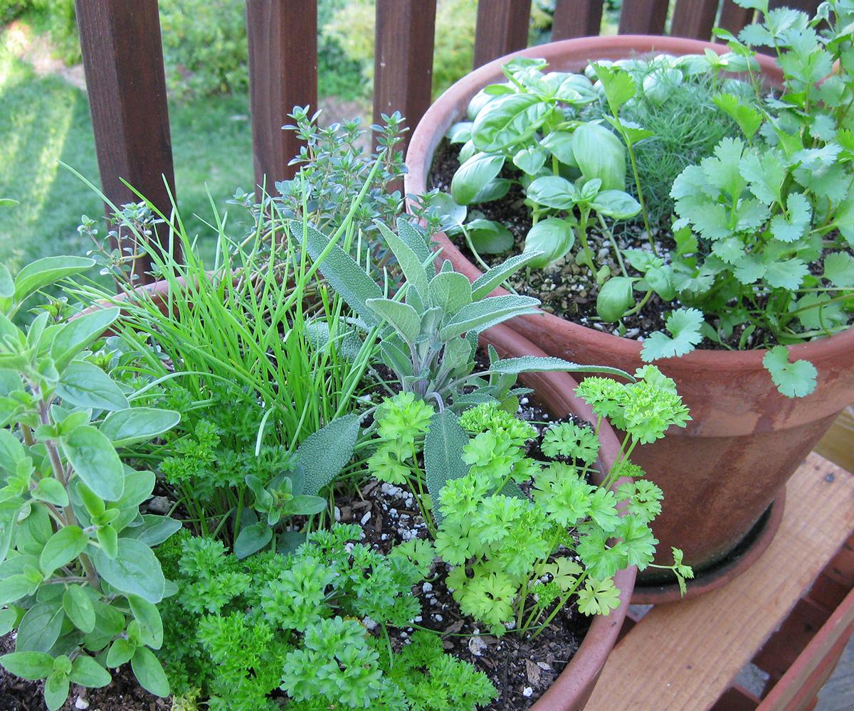 herbs growing in garden pots