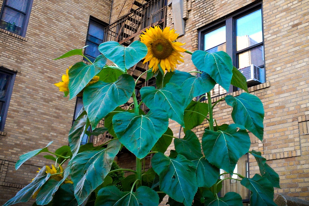 tall sunflower in city